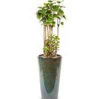 관엽식물 파비안